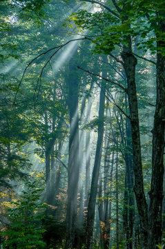 Pastoral Forest