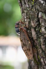 日本の昆虫「せみ(アブラゼミ)」無防備、警戒しながら、食事をする、儚い、精一杯生きるなどのイメージ