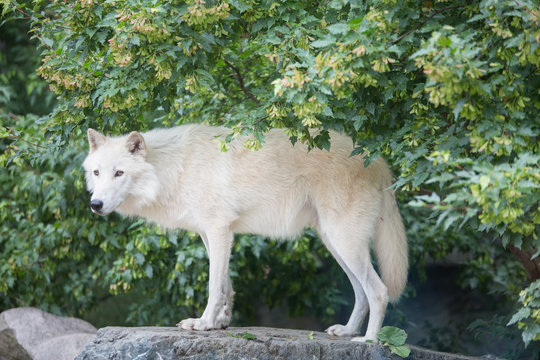 Arctic wolf standing on rocky cliff