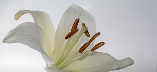 Weisse Lilien vor weissem Hintergrund