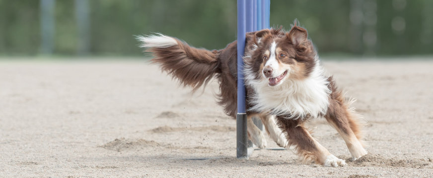 Australian shepherd doing slalom in agility dog competition. Sized to fit for cover image on popular social media site