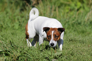 Dog Jack Russell Terrier on a walk