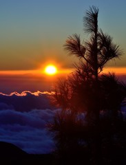 Pine tree top in foreground with the sunrise and sea of clouds