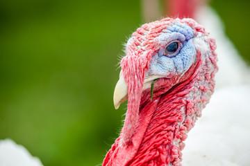an head of an turkey