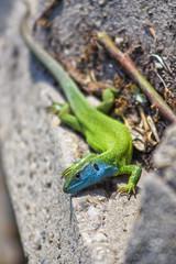 Lizard says hello
