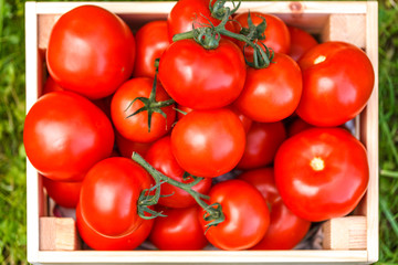 Picture of fesh tomato crop