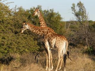 Repas de  girafes