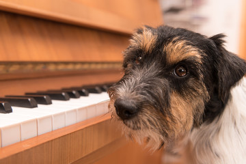 Niedlicher Hund sitzt am Klavier - Jack Russell Terrier