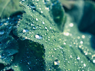green leaves with dew