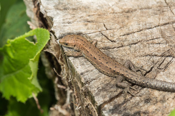 Lizard Lacerta agilis lies on a cracked wooden stump