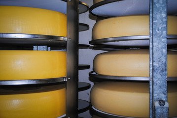 Fresh wheels of cheese in cheese cellar