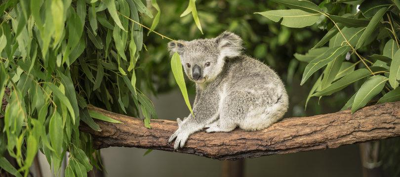 Koala in a eucalyptus tree.
