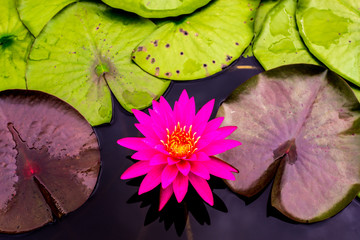 Close up beautiful pink lotus flower in the tub dark black