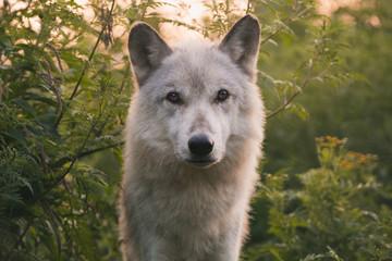 Wolf At Dawn