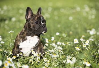 french bulldog dog sits on green grass