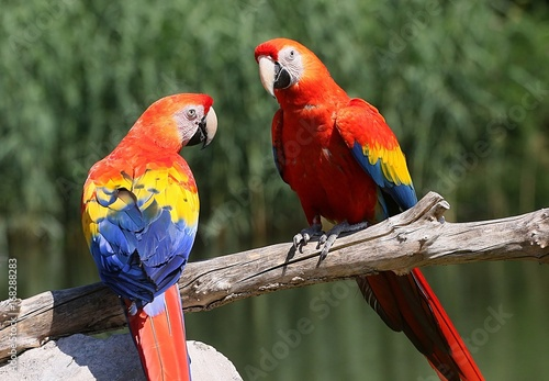 Pair of South American Scarlet Macaws (Ara Macao) a male and