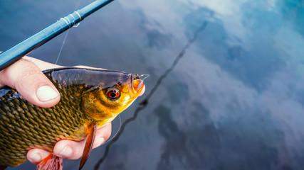 Rudd. The fish is caught in a tenkara.