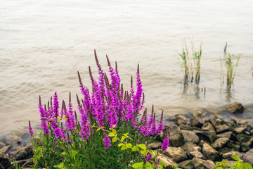 Dark violet flowering purple loosestrife plant growing at the banks of a river.