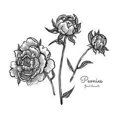 Detailed hand drawn flowers set - blooming peonies. Isolated on white background. Elegant vector flowers in vintage style.