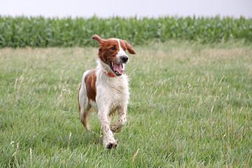 irish setter running on wet grass
