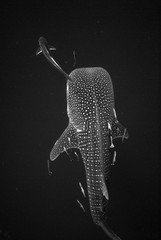 whale shark in the ocean,black and white photo