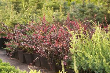Coniferous plants in garden pots in the nursery