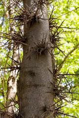 Thorny Carob Tree