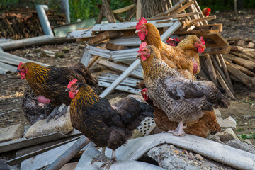 Hen and rooster on traditional free range poultry farm