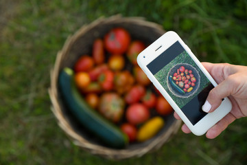 Closeup of hand holding smartphone and taking picture of freshly picked organic garden vegetables. Woman sending photo of basket with tomatoes and squash.