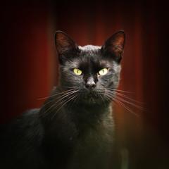 black cat looking at the camera