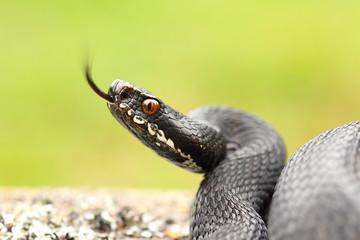 black common european adder ready to strike