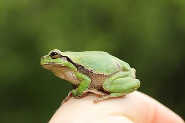 cute green tree frog on woman hand