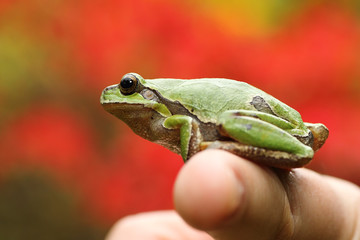 green tree frog on woman's finger