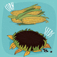 Set of ripe edible vegetable plants, corn ears or cobs and sunflower or helianthus. Isolated background. Realistic hand draw style. Lettering inscription Corn Seeds