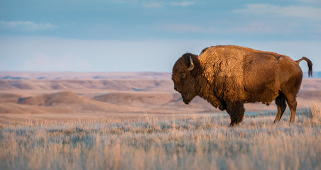 Photo sur Plexiglas Bison Bison in Grasslands National Park