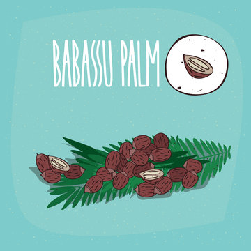 Set of isolated plant Babassu seeds herb with leaves, Simple round icon of Attalea speciosa on white background, Lettering inscription Babassu