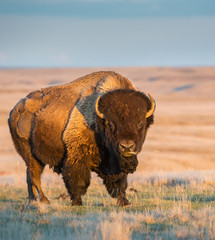 Spoed Fotobehang Buffel Bison in the prairies
