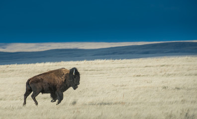 Fotorolgordijn Bison Bison in the prairie skies