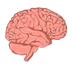 Brain cartoon  vector symbol icon design. Beautiful illustration isolated on white background