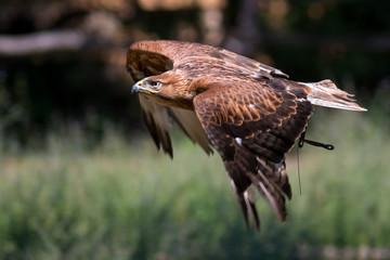 Aquila reale ammaestrata in volo