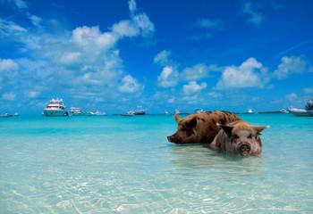 Schweine auf Big major Cay, Pig Beach, Bahamas