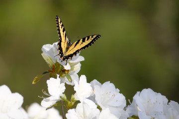 Eastern tiger swallowtail butterfly on azalea bloom