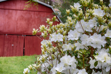 Red barn behind white azalea bush