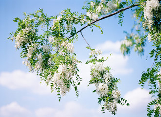 False Acacia flowers on the plant with pale blue sky on background