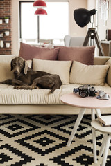 Dog lying on sofa in contemporary interior