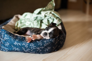 Bruce the Boston Terrier/Pug as a puppy
