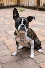 Bruce the Boston Terrier/Pug at play