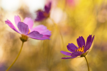 Artistic image of garden flowers. Purple flowers on a yellow toned background. Selective soft focus.