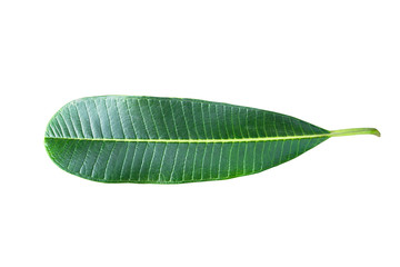 Green plumeria leaf isolated on white background