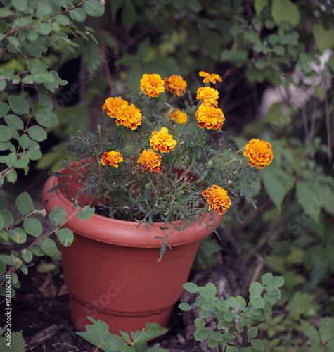 Dekoracje Ogrodowe Kwiaty Byczki W Donicy W Ogrodzie Stockfotos